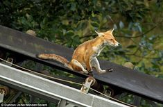 Foxes who think they are at an amusement park are very concerned about your work/life balance