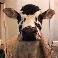 Cute Baby Cow, Baby Cows, Cute Cows, Baby Elephants, Fluffy Cows, Fluffy Animals, Animals And Pets, Wild Animals, Cute Creatures