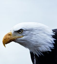 PURE NATURE! -- FIERCE BALD EAGLE IN HAINES, ALASKA -Nature, wildlife photography, and family travel equate into growth for young learners.  Get learning tips on building the naturlist intelligence at http://www.examiner.com/article/use-wildlife-photography-to-build-naturalist-intelligence-young-learners