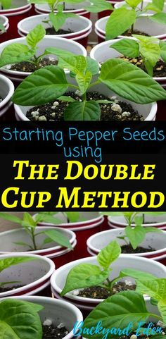 Starting Pepper Seeds Using The Double Cup Method Starting Pepper Seeds Starting Seeds Indoors Starting Seeds Indoors For Beginners How To Start Seeds Indoors Starting Vegetable Seeds Indoors Seed Starting Tips Starting Vegetable Seeds, Organic Vegetable Seeds, Starting Seeds Indoors, Seed Starting, Organic Gardening, Vegetable Gardening, Veggie Gardens, Sustainable Gardening, Growing Tomatoes Indoors