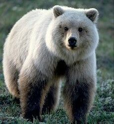 Image result for tibetan brown bear