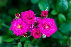 Roses by eminipek #nature #mothernature #travel #traveling #vacation #visiting #trip #holiday #tourism #tourist #photooftheday #amazing #picoftheday