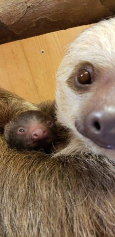5e0bcc63e Bonnie the Zoo Sloth Welcomes Adorable Baby Sloth to Help Get You Through  the Week