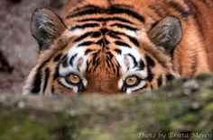 Tigress1 by brijome on DeviantArt