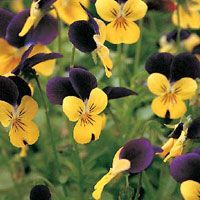 Perfect Pansies Photo