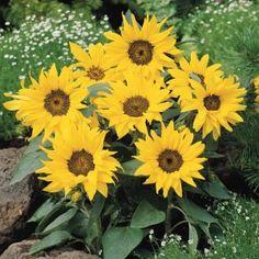 Sunflower Pacino Seeds - Irish Plants Direct