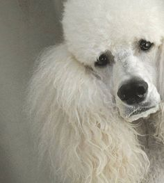 Does your fur friend look sad when you are??? Then cheer you & your Poodle friend up