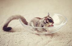Sugar Glider (I really want one)