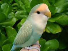 All Pictures of Lovebirds | Re: All spicies of lovebirds...