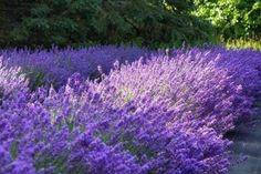 A Beautiful Lavender Farm In Wisconsin, Fragrant Isle Is Serene And Stunning Towns In Wisconsin, Door County Wisconsin, Lavender Color, Lavender Plants, Late Summer, Vacation Spots, Day Trips, Spring Time, Serenity