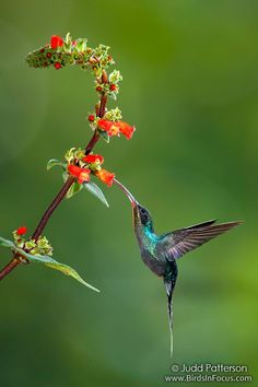 Green Hermit Hummingbird feeding the flower's nectar.
