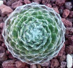 Sempervivum arachnoideum / Cactus sin fronteras / Manuel Licona Cabbage, Vegetables, Plants, Veggie Food, Cabbages, Vegetable Recipes, Veggies, Brussels Sprouts, Kale