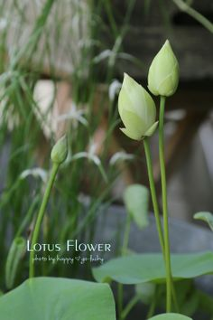 buds of lotus