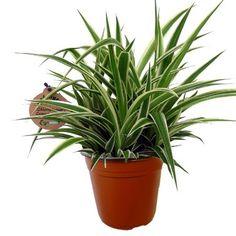 nephrolepis exaltata 39 bostoniensis 39 h 55 cm pot d19 cm plante et fleurs pinterest. Black Bedroom Furniture Sets. Home Design Ideas