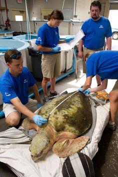 Loggerhead Sea Turtle Rescued By SeaWorld Orlando