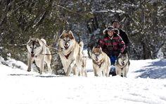 Snow Australia - sled dogs at Falls Creek Alpine Resort, Victoria, Australia #snowaus
