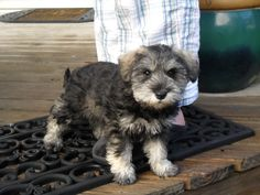 Otto - a little New Zealand schnoodle puppy