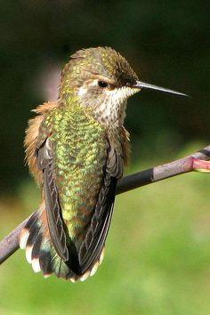 Rufus Hummingbird by Frank Townsley