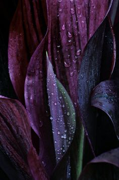 Deep purple leaves.