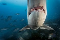 Thanks to Jaws, they're the ocean's most iconic and feared fish. But we know surprisingly little about them.