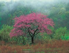 Redbud- My Moms favorite tree. I need to plant her another one since the ice took out her favorite one.