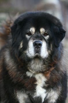 This is Cakra, a Tibetan Mastiff living at Sundari kennel in Czech Republic. She's an old lady now and she's crazy about candy (= Cakra, the Tibetan Mastiff Giant Dog Breeds, Rare Dog Breeds, Best Dog Breeds, Best Dogs, Mastiff Puppies For Sale, English Mastiff Puppies, Dogs And Puppies, Doggies, Mastiff Breeds