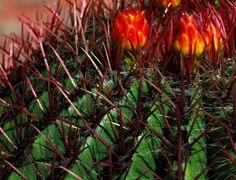Cactus Flower by Pieter Oosthuysen, via