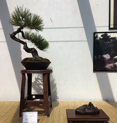 Ponderosa Pine Bonsai at the Minnesota Bonsai Society 2016 Mother's Day Show.
