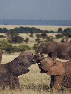 Elephant Kiss by Jarrad Seng