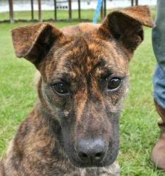 Nikita is an adoptable Shepherd Dog in Chipley, FL. Nikita and Leta are most likely litter mates, two female 6 to 8 month old shepherd/bulldog cross pups, both about 20 pounds! They are very sweet gir...