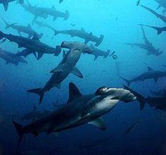 Hamer Haaien