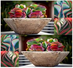 Kalanchoe Thyrsiflora exotiques et RARE xéropaysagisme succulentes mesembs - aka Paddle plante, crêpes, désert chou, dame blanche, Plakkie
