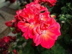 Geranium Red - Spring '12 Color Inspiration.