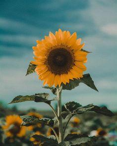 Mint Wallpaper, Flower Iphone Wallpaper, Sunflower Wallpaper, Iphone Background Wallpaper, Galaxy Wallpaper, Sunflower Flower, Sunflower Fields, Black Aesthetic Wallpaper, Aesthetic Wallpapers