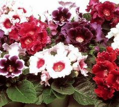 25+ Gloxinia Empress Mix Flower Seeds / for the Garden or Houseplant by CHERYL'S UNIQUE FLOWER SEEDS. $3.89. Indirect light. Easy to grow  Seeds are tiny. This year's fresh seeds. Fast growing and Long flowering. Grows 8-10 inches tall / likes moist soil. Velvety, trumpet-shaped flowers. Make gorgeous houseplants. Likes moist soil, watered from the bottom because the velvety leaves should nit get wet. They need light, but not direct sunlight. The seeds are tiny and ...