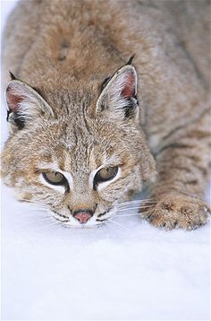 Image: Wild cat (© Kim Sullivan/SplashdownDirect/Rex Features)