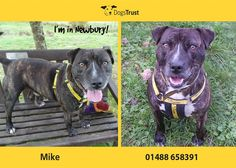 Mike at Dogs Trust Newbury loves to play ball and will bring a tennis ball back to your feet ready to be thrown again & again. Mike can be a bit on the boisterous side so he needs some one who can keep up with his high energy levels. He is currently having training to help keep him calm in certain situations as he can get very over excited at times.