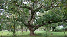 Old Pecan Tree, Louisiana Hedge Trees, Trees To Plant, Caramel Pecan Pie, Honey Locust, Pecan Wood, Forest Garden, Tree Forest, Never Grow Up, Hedges