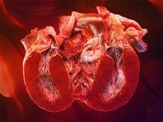Человеческое сердце для Thomas Direct Studios - Cross Section of Human Heart