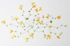 メラスフェルラ押し花