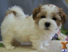 Shih Poo (Shih Tzu/Poodle Mix).  It might be a designer pup but it's pretty darn cute!