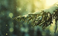 Nature pine trees snow (1920x1200, pine, trees, snow)  via www.allwallpaper.in