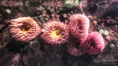 Fish-eating anemones, Urticina piscivora, are wonderful macro subjects for underwater photographers. Vancouver Aquarium, Underwater Photographer, Anemones, Dandelion, Amazing, Photographers, Fish, Dandelions