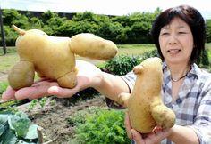 動物のような愛らしい形をしたジャガイモ=加東市下久米
