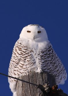Snowy Owl. In January 2014 in northwest Illinois where I live, I saw a snow owl perched atop a pole like this. They are beautiful birds!