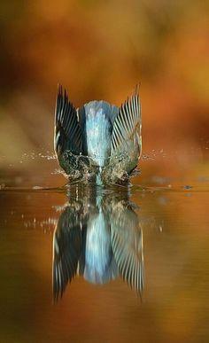 Détermination. Voilà le mot qui colle au travail photographie d'Alan McFadyen, 46 ans, près d'un point d'eau en Écosse. Mais il a fini par l'avoir sa photo parfaite du plongeon d'un martin-pêcheur.