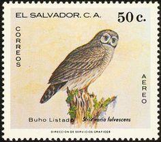 Fulvous-Owl----Strix-fulvescens.jpg (300×265)