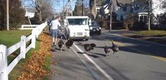 Falmouth's Mailman-chasing turkeys were mentioned on Jimmy Fallon's Tonight Show;  12-14-15