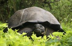 A giant tortoise is seen on the Santa Cruz Island in this August 2015 handout photograph provided by the Galapagos National Park Sulcata Tortoise, Giant Tortoise, Tortoise Turtle, Reptiles And Amphibians, Mammals, Animals Of The World, Animals And Pets, Galapagos Islands, Tortoises