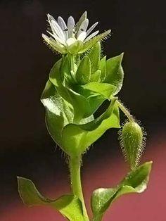Pihatähtimö, Stellaria media - Kukkakasvit - LuontoPortti Forest Flowers, Wild Flowers, My Land, Colorful Pictures, Fungi, Natural Beauty, Flora, Scenery, World